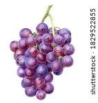 Grape Bunch Watercolor...