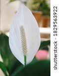 White Flower Calla With Reen...