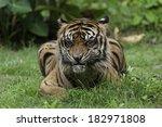 sumatran tiger on sunday... | Shutterstock . vector #182971808