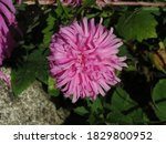 Blooming Pink Aster With Green...