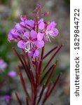 Isolated And Pretty Fireweed...