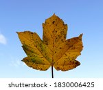 Autumnal Colored Maple Leaf In...