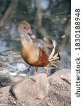 The Plumed Whistling Duck Is...