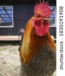 Closeup Of A Big Rooster In A...
