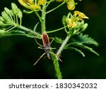 Leafhopper Assassin Bug. Zelus...