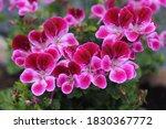 Pelargonium Is A Genus Of...