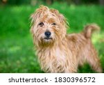 A Scruffy Brown Terrier Mixed...