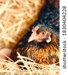 Free Range Ameraucana Chicken...