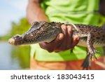 Man Is Holding Baby Crocodile...