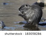 Wild Nutria  Female ....