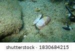 Seashell Of A Bivalve Mollusc...
