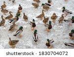 Many Ducks On A Frozen Pond....