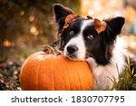 Cute Border Collie Dog Resting...