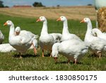 White Geese At The Village Farm ...