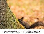 The Red Squirrel  Sciurus...