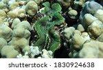 Rugose Giant Clam. Molluscs ...