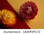 Small photo of Xerochrysum bracteatum golden dry flower close up on red backdrop. Pink flower on yellow background. Antagonism in colors. Strawflowers.