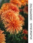 Orange Chrysanthemums On A...