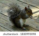 Squirrel Munching On A Peanut...