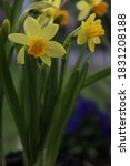 Mini Yellow Daffodil Flowers ...
