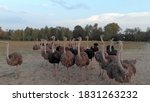 The Flock Of Camel Bird On The...