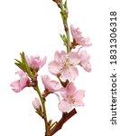 sakura branch isolated on white ...   Shutterstock . vector #1831306318