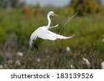 Great Egret (Ardea alba) building nest. Patagonia, Argentina, South America - stock photo