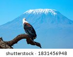 African Fish Eagle Perched On ...