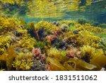 Underwater Colorful Seaweeds In ...