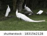 Group Of White Peacocks In The...