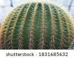 Golden Barrel Cactus Is A Large ...