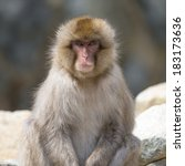 Portrait Of A Japanese Macaque...