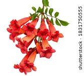 Small photo of Red flowers of Campsis, radicans grandiflora (trumpet creeper vine) climbing blooming liana plant, isolated on white background