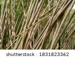 beautiful bamboo tree... | Shutterstock . vector #1831823362