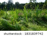 Lush Green Grasses Grow In...