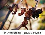 Fallen Dry Pecan Nut Tree Leaves