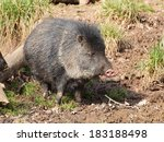 Collared Peccary Stand On The...