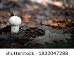 Mushroom Lycoperdon Also Known...