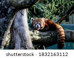 Red Panda Yawning Sitting On A...
