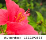 Chinese Hibiscus  Rose Mallow...