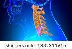 Human Skeleton Vertebral Column ...