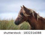 Wild Welsh Mountain Ponies In...
