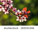twig with flowers of apple tree on a blurred background of green grass and leaves - stock photo