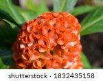 Twisted Orange Cockscomb  ...