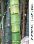 Beautiful Green Japanese Bambo...
