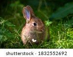 A Wild Orange Rabbit Bunny With ...