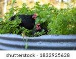Black Australorp Chickens...