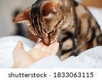 Tabby Pet Cat Sniffing Human...