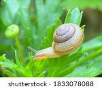 Close Up Macro Of Small Snail...