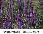 Lavender Field At Dawn.an Image ...